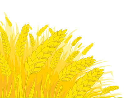 cebada: Centeno madura sobre un fondo blanco Vectores