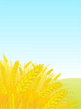 barley field: Ripe rye against the blue sky