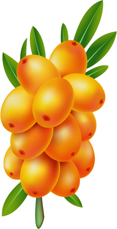 argousier: Sea-buckthorn berries. Illustration