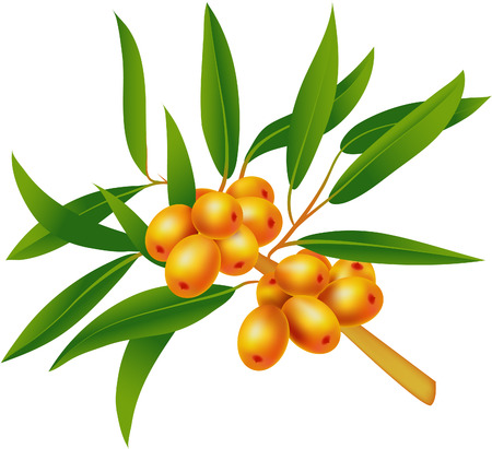 large group of objects: Sea-buckthorn berries. Illustration