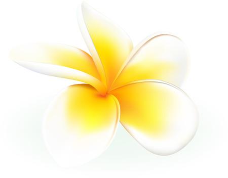 pacífico: frangipani