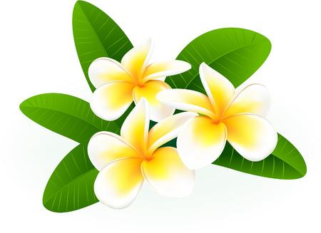 plumeria flower: Frangipani