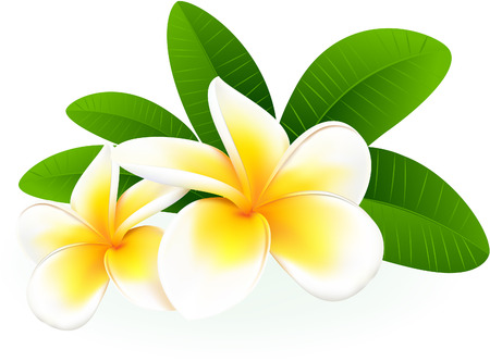 hawaii islands: Frangipani