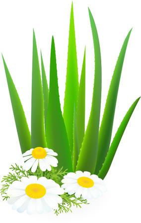 chamomile: Aloe-vera and camomiles.