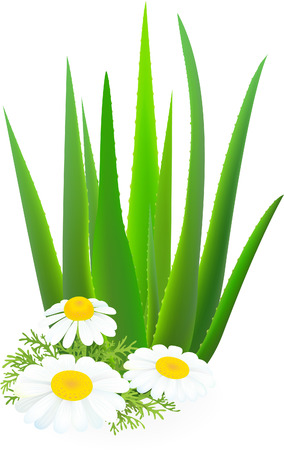 chamomile flower: Aloe-vera and camomiles.