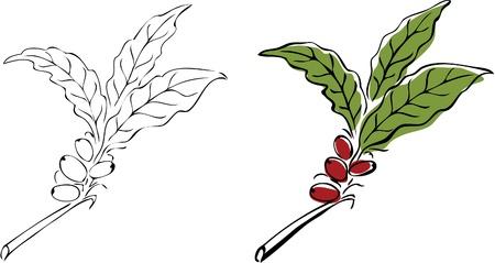 planta de cafe: Rama de un �rbol de caf� dibujado mano. Vectores