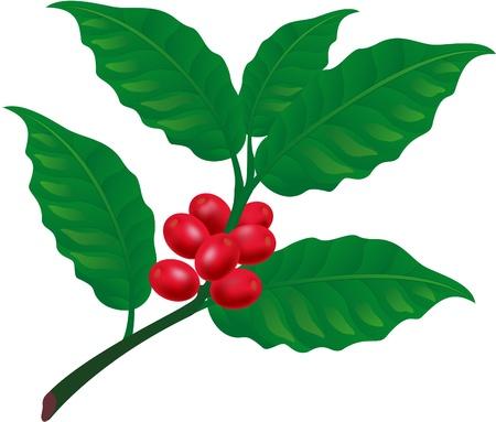 coffee beans:   Rama de un �rbol de caf�. Elemento para la ilustraci�n vectorial de dise�o Vectores