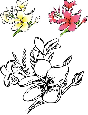 hawaiian culture: Botanical illustration of plumeria in color and outlines.