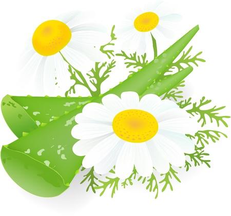 aloe vera plant:  Aloe-vera and camomiles.