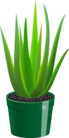 aloe vera plant: Aloe