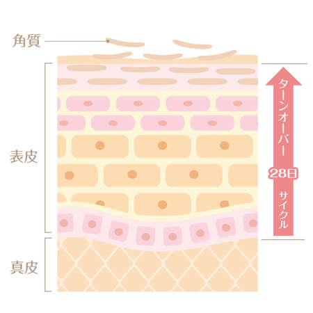 "It includes the following Japanese transcription. ""Epidermis"" ""corium"" ""keratin"" ""turn coat"" ""28 day cycle"""