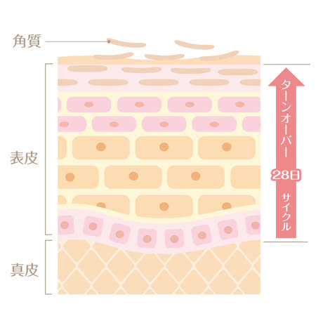 "It includes the following Japanese transcription. ""Epidermis"" ""corium"" ""keratin"" ""turn coat"" ""28 day cycle"""