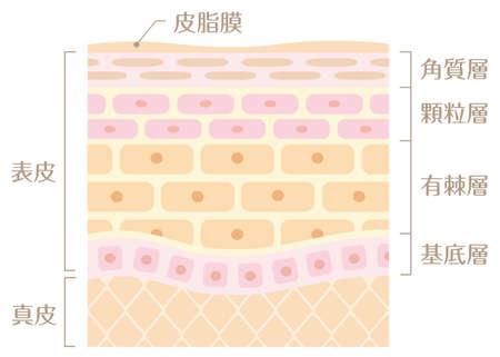 "Tectonic profile illustration of skin It includes the following Japanese transcription. ""Epidermis"" ""corium"" ""sebaceous gland"" ""cornified layer"" ""layer of granules"" ""arinatsumesou"" ""basal laminae"""