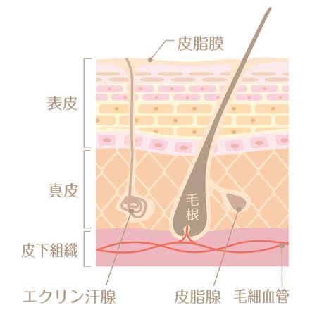 "Tectonic profile illustration of skin It includes the following Japanese transcription. ""Epidermis"" ""corium"" ""sebaceous gland"" ""tissue under the skin"" ""eccrine gland"" ""sebaceous gland"" ""capillary"""