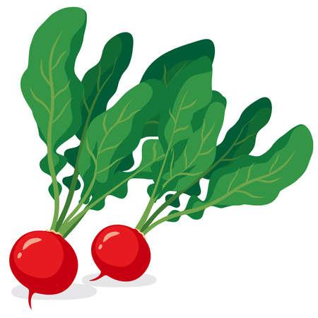 Illustration of fresh vegetables (Radish)