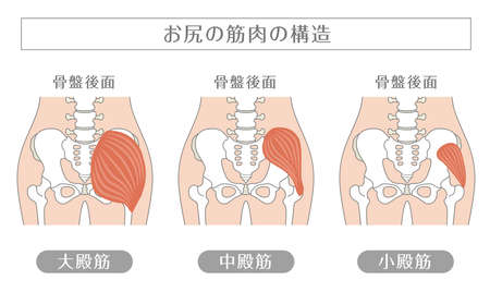 Human body Buttocks muscles In Japanese, it is described as the structure of the buttock muscle, the posterior surface of the pelvis, the gluteus maximus, the gluteus medius, and