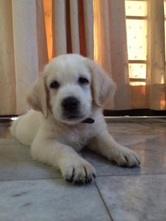 otganimalpets01: My life Samuel the Labrador