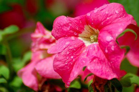 Petunia after a rain