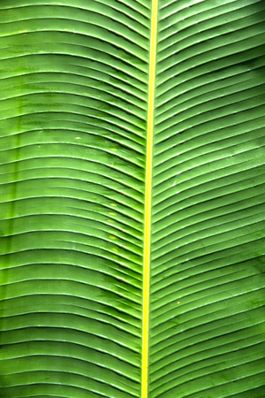 wall textures: close up banana leave for background or wallpaper Stock Photo