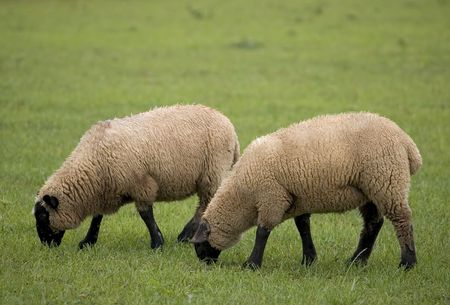 Two sheep grazing in a field photo
