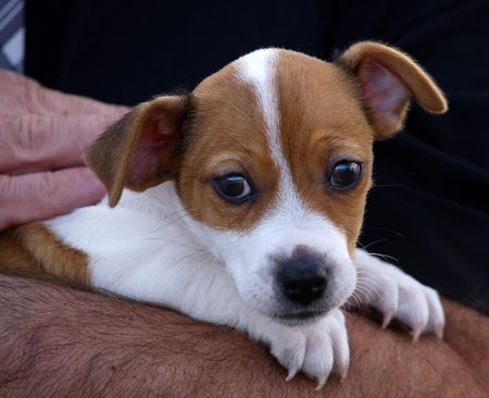 held: Jack Russel Terrier pup being held Stock Photo