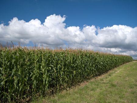 casi: Campo de cultivos casi listo para la cosecha