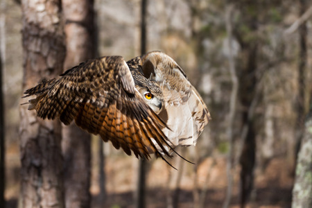 An owl in flight in the North Carolina forest