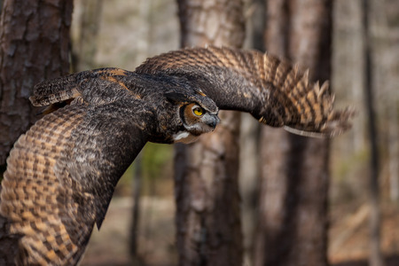 A great horned owl in flight in a North Carolina forest
