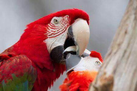 Scarlet Macaws 写真素材