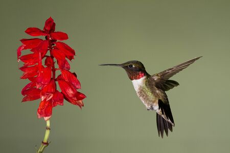 Ruby-throated Hummingbird gathering nectar