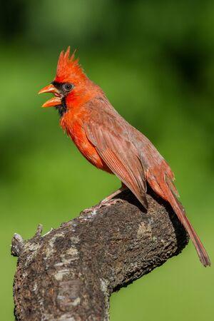 Northern cardinal demonstrating a threat display.