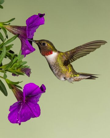 A ruby-throated hummingbird gathering nectar from a petunia.