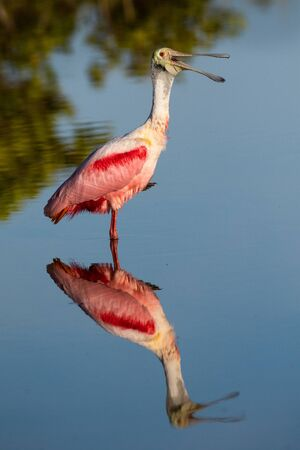 A roseate spoonbill wading in a salt marsh. Stock Photo