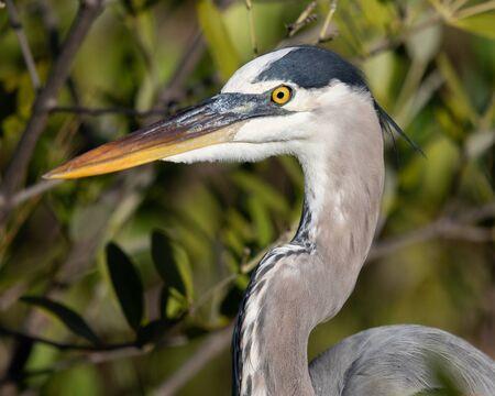 A great blue heron closeup.