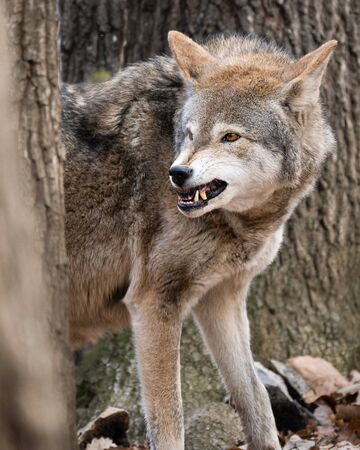 A red wolf snarling at a nearby male