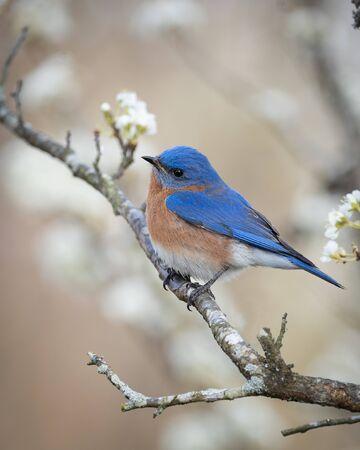 An eastern bluebird peched in a plum tree.
