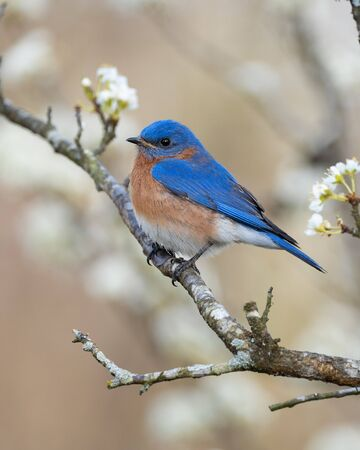 An eastern bluebird peched in a plum tree. Banque d'images