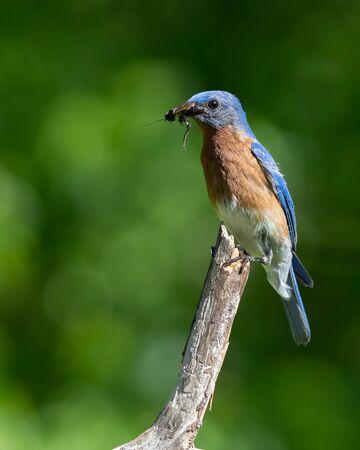 A bluebird eating a cricket