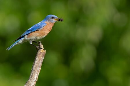 An eastern bluebird with insect in his mouth