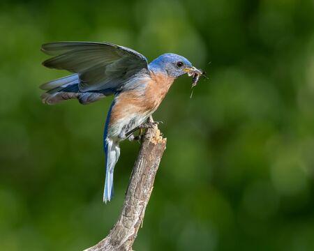 An eastern bluebird eating a cricket.