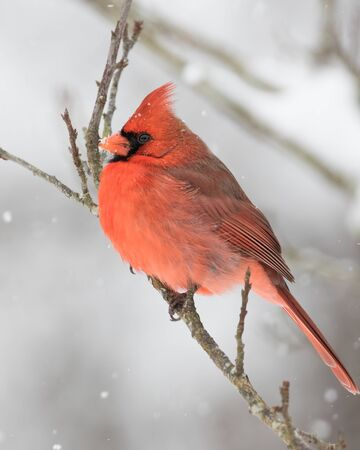 A northern cardinal perched in a snow storm.