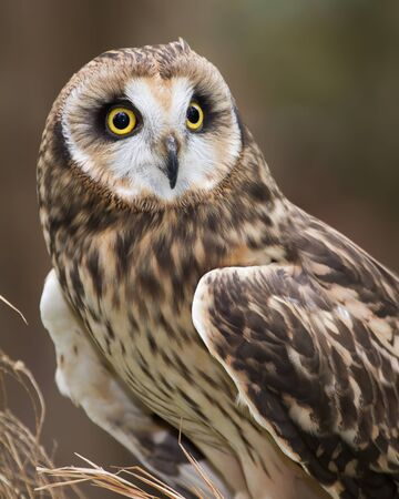 A short eared owl perched in field grass.
