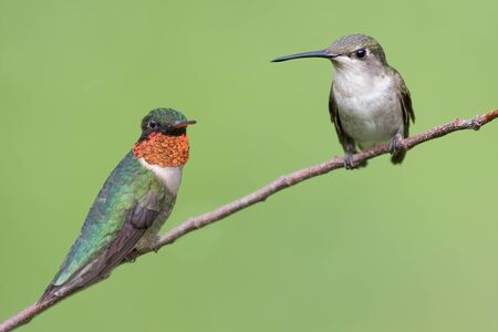 A male and female ruby-throated hummingbird perched.