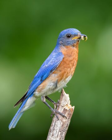 Eastern bluebird with an insect in his mouth.