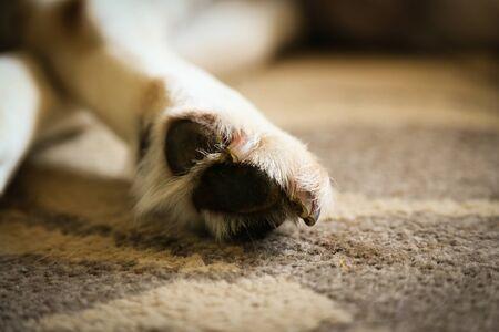 Labrador pads, claw and paws - sleeping labrador dog