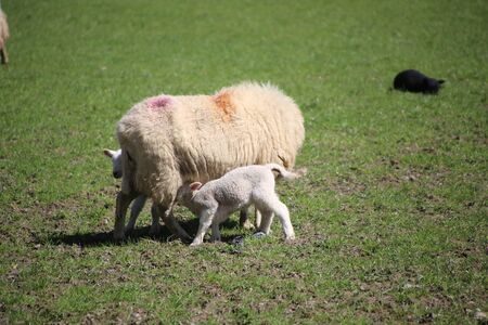 sheep, mother and lambs during spring time in wales.