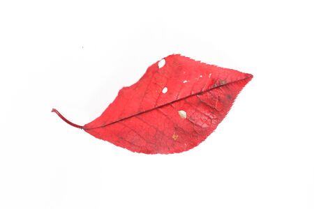 autumn leaves macro. Isolated autumn fallen leaves over white background