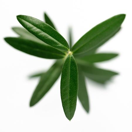 olive leaf: Árbol joven de oliva sobre un fondo blanco disparó desde arriba. Foto de archivo