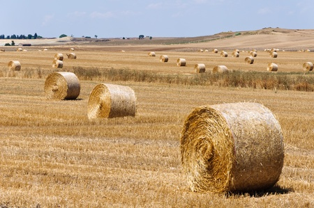 Dozen of hay bales in the country of Apulia, Italy.