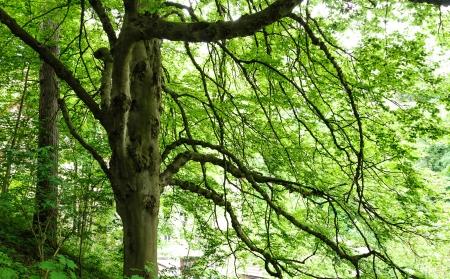ramification: Big tree with green foliage